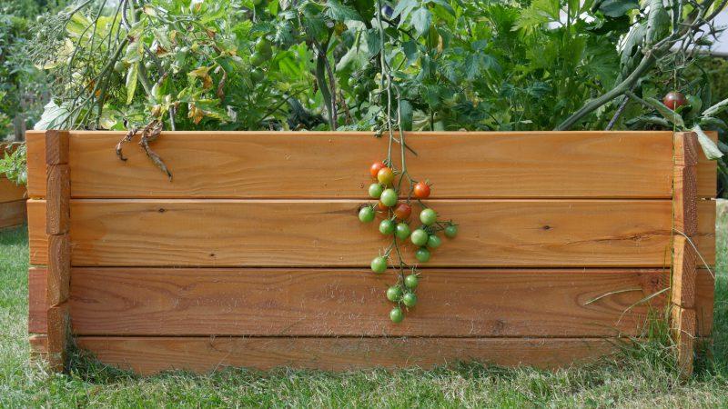 plan de tomate dans bac en bois