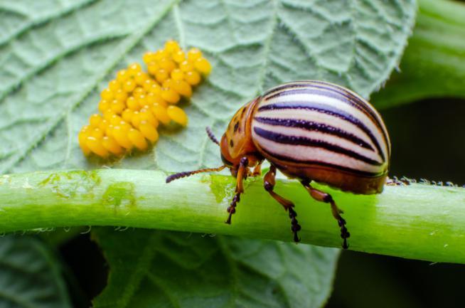 Doryphore qui pond ses oeufs sur une plante